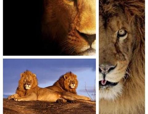 Callagy Law Lions
